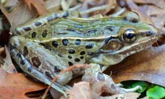 Вчені описали новий вид леопардового жаби, виявленої в нью-йорку