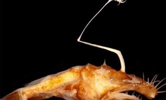 Вчені відкрили нове глибоководне чудовисько