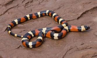 Вчені відкрили новий секрет руху змій