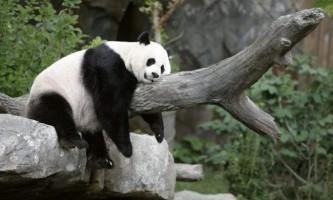 Вчені: панди виробили свій «режим дня»