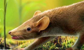 Вчені: первісна миша була покрита голками, як у дикобраза