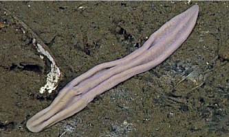 Вчені розкрили загадку родоводу «рожевих шкарпеток»