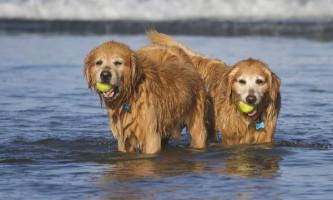 Вчені розшифрували сигнали собак, махають хвостом