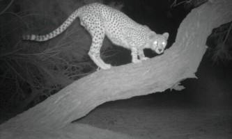 Вчені зробили фото рідкісної африканської кішки