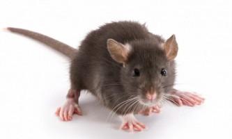 Вчені зробили миша прозорою