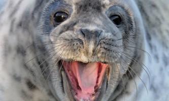 Вчені зняли на відео тюленя-канібала
