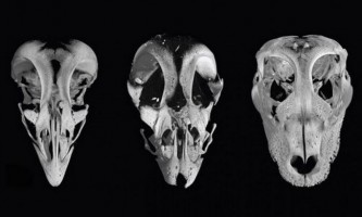 Вчені створили курей з мордами як у динозаврів