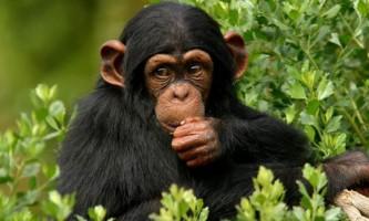 Вчені: у шимпанзе з`явилася власна релігія