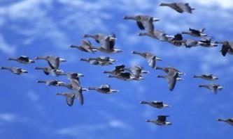 Вчені дізналися, як птахи вибирають місце для відпочинку під час міграції