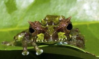 Вчені в еквадорі виявили жабу-трансформера