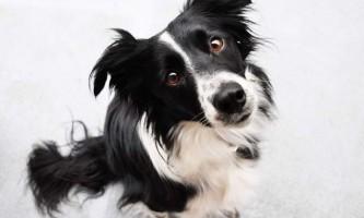 Вчені з`ясували, що собаки вміють розрізняти обличчя