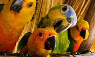 Вчені з`ясували, чому папуги так добре імітують голоси