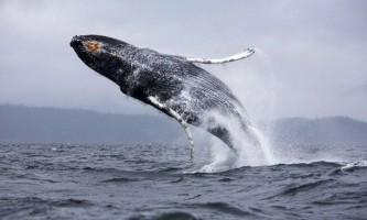 Вчені з`ясували, навіщо кити вистрибують з води