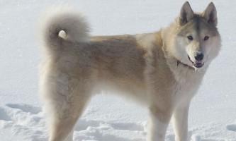 За полярним колом знайшли найдавніших породистих собак