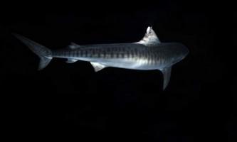 Вченими доведено тривалі міграції тигрових акул