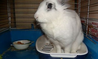 Вчимо кролика ходити на лоток