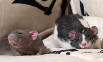 Вчимося розуміти мову щурів