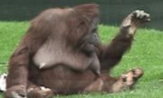 Вчені склали перший словник орангутангів