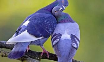 Вчені з`ясували, що голуби здатні відрізняти слова від нісенітниці