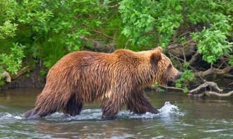 Wwf розпочав збір коштів для порятунку румунських ведмедів