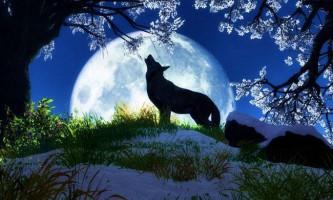 Дивовижний світ вовків: хто ці звірі насправді?