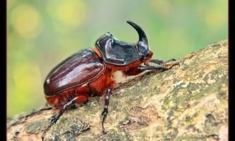 Дивовижний жук носоріг