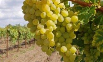 Добриво винограду восени - важливе і значуще заняття