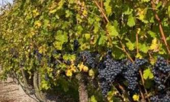 Добриво виноградників