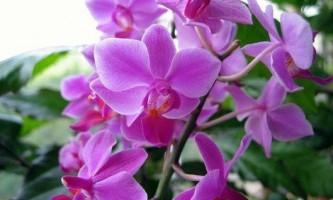 Добрива для цвітіння орхідей