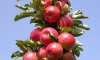 Догляд та обрізка колоновидною яблуні