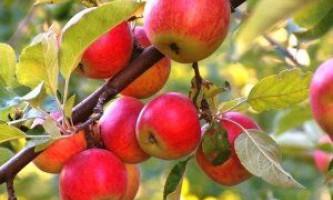 Догляд та посадка яблунь: головні правила