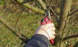 Догляд за яблунею: все про правильну обрізку навесні і восени