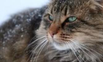 Догляд за норвезької лісової кішкою