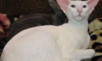 Догляд за орієнтальної кішкою