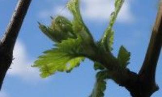 Догляд за плодоносними рослинами винограду