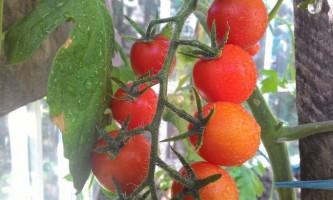 Догляд за помідорами в теплиці