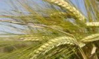 Догляд за посівами ячменю ярого