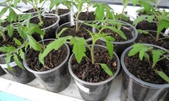 Догляд за розсадою томатів