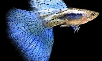 Догляд за рибками гуппі в домашніх умовах