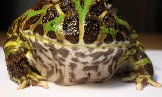 Прикрашена рогатка, вона ж - ітан: жаба з ріжками