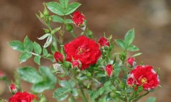 Укриття троянди. Як захистити троянду взимку? (Відео)