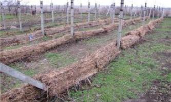 Вкриваємо виноград на зиму правильно!