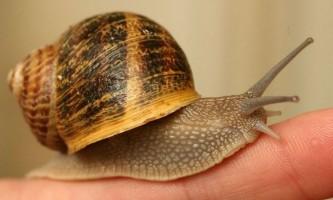 Равлики вбивають більше людей, ніж всі хижаки, разом узяті