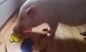 Розумна свиня навчилася складати пазл