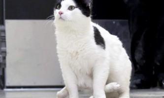 Унікальна кішка з шістьма лапами
