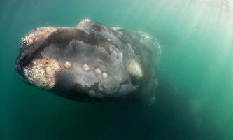 Унікальні знімки південного гладкого кита з дитинчам