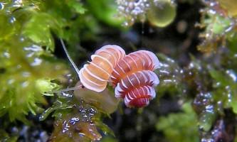 Унікальні равлики виду plectostoma зникають з лиця землі