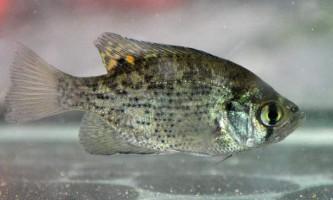 Вухатий окунь або сонячна риба