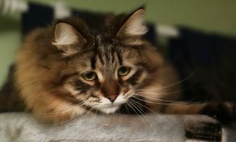 Вушний кліщ у кішок