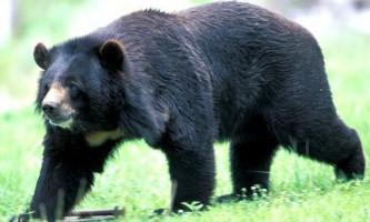 Уссурійський (гімалайський) ведмідь